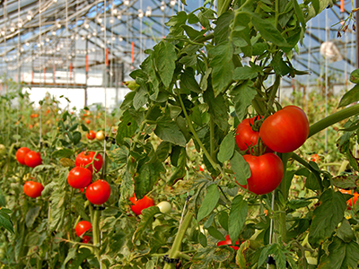 CompoPac-Rankhilfe-Tomaten